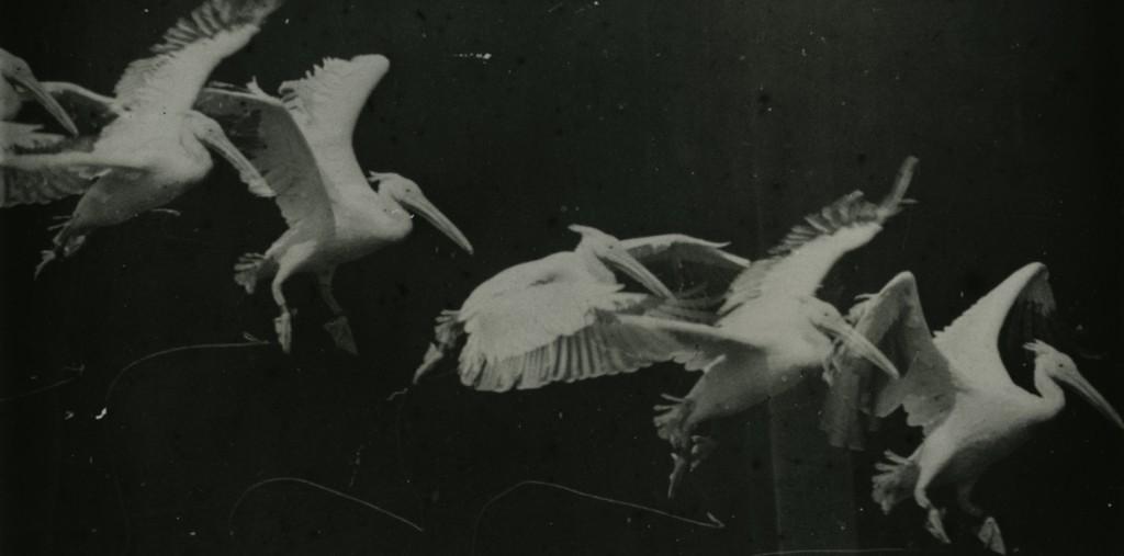 photographie pelican en vol par Etienne-Jules Marey